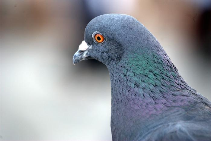 pigeon-372496_1280